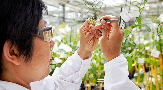 plant breeding oilseed rape as example