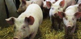 pigs human organs feature