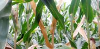 'Refuge planting': How farmers could help slow developing insect resistance to GMO Bt crops