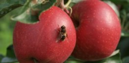 Wide range, high levels of pesticides found in apple orchard honeybee colonies
