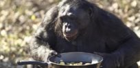 Natural chefs? Chimps learn to use an oven, sparking debate on how humans learned to cook