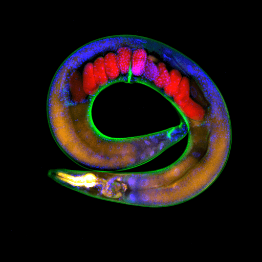 Inheritance of epigenetic modifications observed through 14 generations in roundworms
