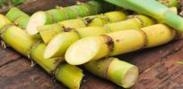 GMO sugarcane: Dual-purpose bioenergy crop produces oil for biodiesel, more sugar for ethanol
