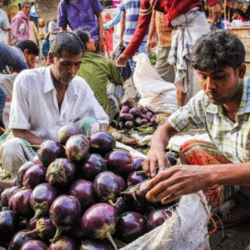 Study: Bt eggplant wins market and farmer acceptance in Bangladesh