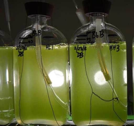 Chasing renewable energy: Microalga's DNA may reveal how to turn plants into fuel producers