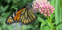 Milkweed: Mother's milk for monarch butterflies, but yield-robbing weed for farmers