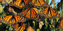 Plight of the monarch: Threatened by more than the loss of milkweed food supply