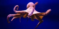 Behold the octopus: Problem solver, tool user and now, gene editor