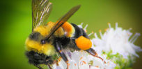 Will rusty patched bumble bee's endangered listing become a legal weapon for anti-development activists?