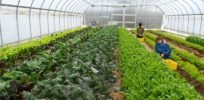 Pesticide seed treatments may decrease soil health, increase weeds, study finds
