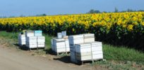Do farming and chemicals hurt overall honey bee health? Much the opposite, concludes independent study