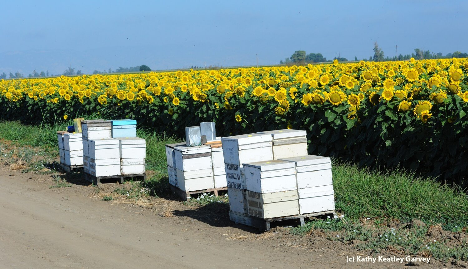 Do Farming And Chemicals Hurt Overall Honey Bee Health Much The