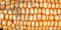 GMO corn that shuts down carcinogenic fungal toxin could be healthcare boon in developing countries