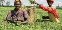 What role can crop biotechnology play in feeding Nigeria's growing population?
