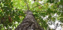 Conventional and biotech breeding methods together could revive the American chestnut tree