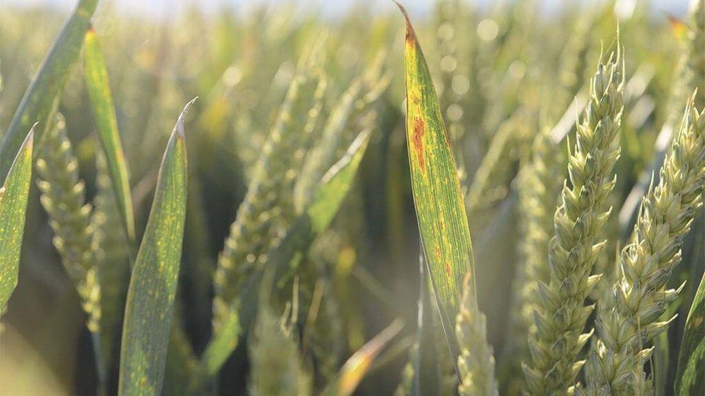 BYDV in wheat mr Main