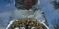 Bees Colony collapse disorder Laurent Geslin