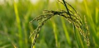 Farm Field Asia Plant Rice Nature Agriculture e