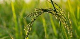 Farm Field Asia Plant Rice Nature Agriculture e