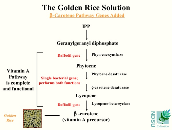 Golden Rice large