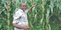 GM corn and cotton varieties developed by Kenyan scientists ready for field trials