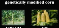10 GMO memes supported by science