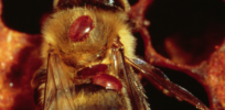 Varroa mites—'leading culprit' of honey bee losses—hitchhike to nearby hives to spread disease