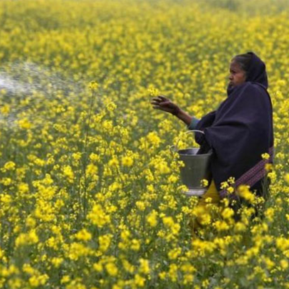 GM crop regulator approves commercial use of GM mustard