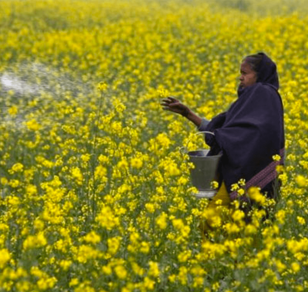India's biotech regulator greenlights GMO mustard—But hurdles to commercialization remain