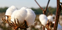 Ghana suspends GMO cotton field trials after Monsanto withdraws funding