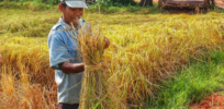 New GE rice variety boosts plant's immune system to fight multiple diseases at once