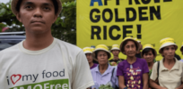 'Uncertainty and fear': Why GE vitamin-A fortified 'Golden Rice' has been slow to catch on
