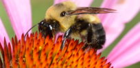 Neonicotinoid insecticide may reduce wild bumblebee queens' egg development, lab study finds