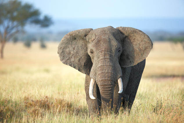 Can the evolution of elephants show us how to treat, prevent