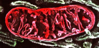 g sem of mitochondrion