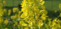 mustard black