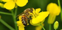Pursuing alternatives: Honeybees may be helped by other pollinators
