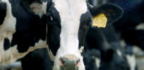 Should milk from cows that eat genetically modified feed be labeled GMO?