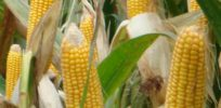 Future of corn: Genetics could improve maize's sustainability and productivity