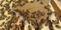 Honey bees could be shielded by probiotics from toxic effects of pesticide exposure, study finds