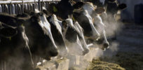 How genetics helps make cows more profitable and environmentally friendly