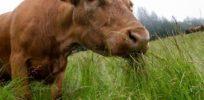 GrassfedBeef