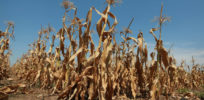 Vulnerable system? What if world's breadbaskets experience crop failure at same time?