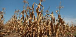 Kansas Drought Corn