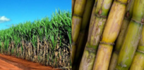 New GMO crop: Brazil approves insect resistant sugarcane for commercial use