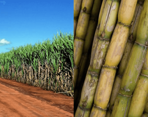 800ec8307b27e New GMO crop  Brazil approves insect resistant sugarcane for ...