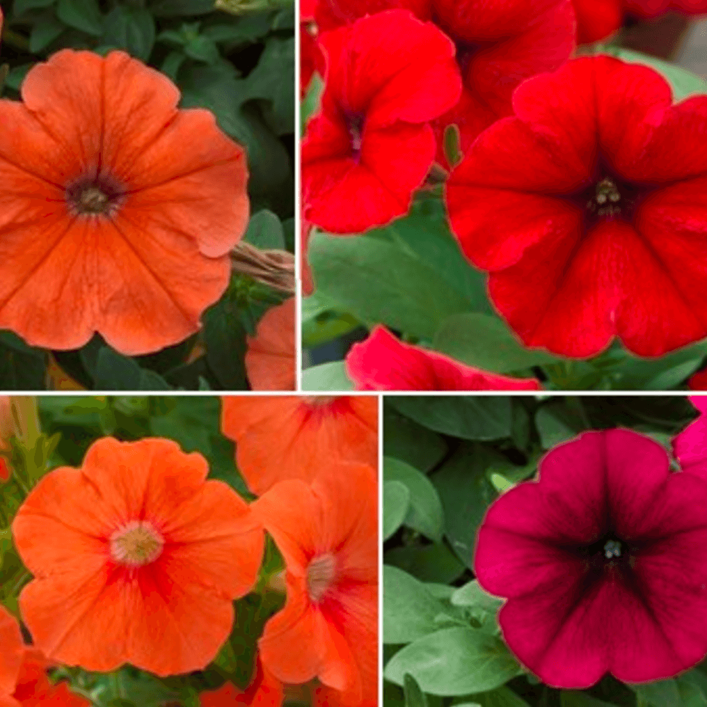 Should the government have ordered the destruction of harmless and beautiful 'illegal' GMO petunias?