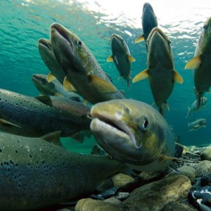 Spawning Atlantic Salmon