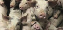 Pigs as human organ incubators? Pork producers gear up for potential demand