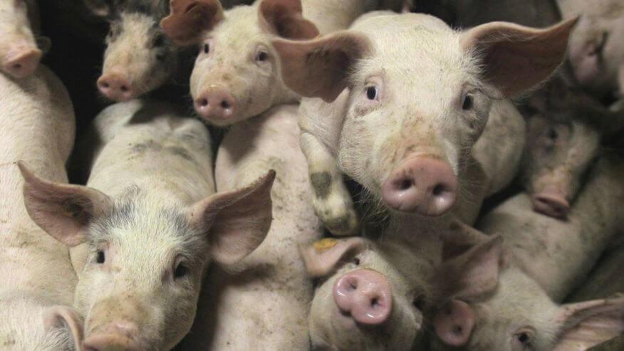 Pigs as human organ incubators? Pork producers gear up for potential demand